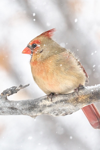 Female Cardinal in a snow storm