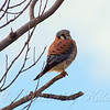 Relaxed Kestrel View 1