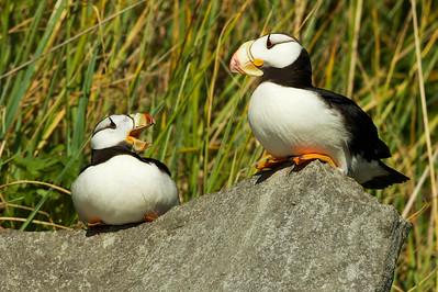 Horned Puffins, Duck Island, AK