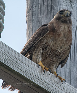"Red-tailed Hawk ""Scrappy"""