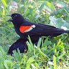 Red-winged Blackbird Death Match 23