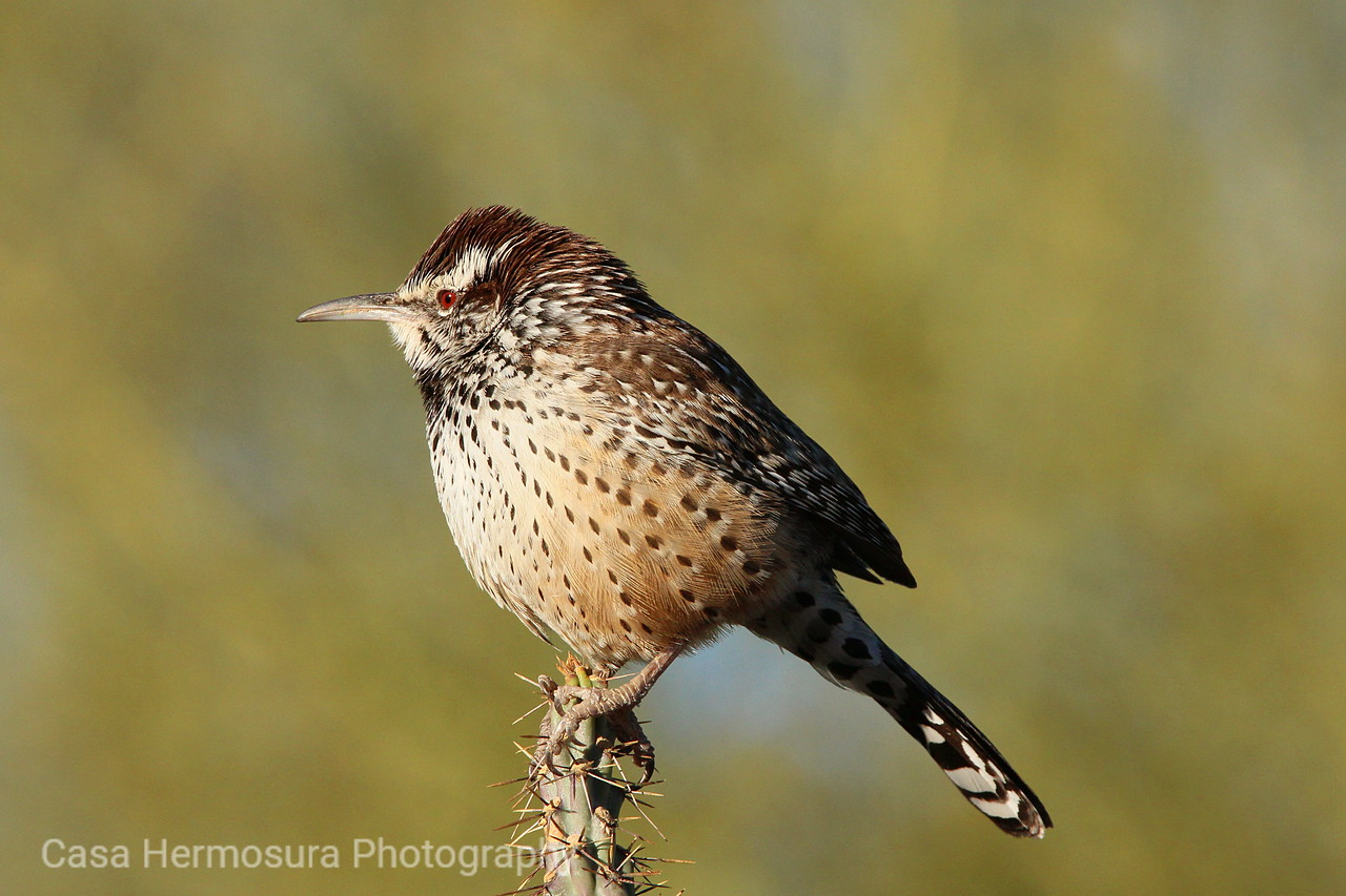 Wren on a Cholla
