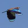 Nilakanth Bird / Птица Нилакантх