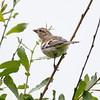 Female Chaffinch at Freemans Marsh
