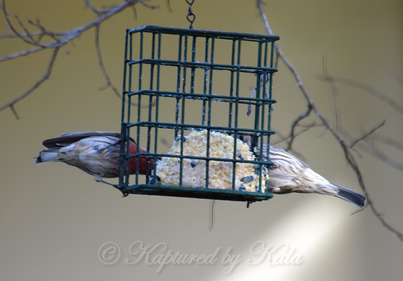 Mr. & Mrs. House Finch On A Dinner Date