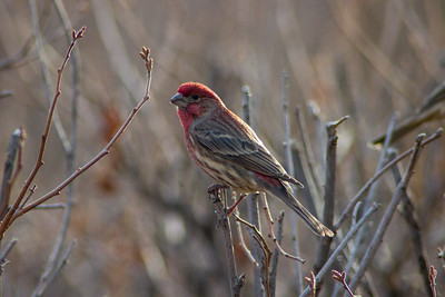 House Finch at Barr Lake