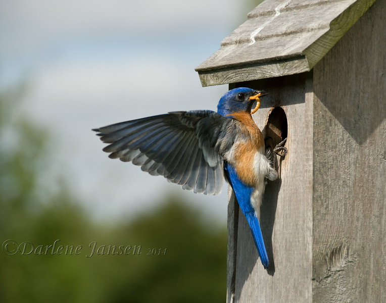 """We've had bluebird nesting boxes in our backyard for the past 15 years. Each year at least three bluebird families are raised by very busy parents. It's a joy to hear their soft, sweet melody and later to hear the """"peeps"""" of their young, eagerly waiting for food from both mom & dad; great insect control for your yard too  :) <br /> <br /> After the young have left and the nesting boxes are empty, each fall groups of 10 to 12 bluebirds come back to these same nesting boxes, fly all around them, land on the roof, go inside to check things out, take a swim in the birdbath and eat berries off the shrubs."""