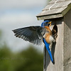 "We've had bluebird nesting boxes in our backyard for the past 15 years. Each year at least three bluebird families are raised by very busy parents. It's a joy to hear their soft, sweet melody and later to hear the ""peeps"" of their young, eagerly waiting for food from both mom & dad; great insect control for your yard too  :) <br /> <br /> After the young have left and the nesting boxes are empty, each fall groups of 10 to 12 bluebirds come back to these same nesting boxes, fly all around them, land on the roof, go inside to check things out, take a swim in the birdbath and eat berries off the shrubs."