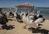 Pelican 51