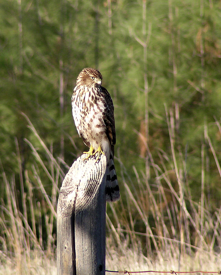 """NAB-111304-10AR  """"Hungry Eyes"""" Immature hawk (possibly Cooper's Hawk), Shingle Springs, California.  """"Art Shots"""" look best when printed in matte finish."""