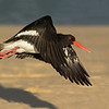 Pied Oyster Catcher, Federation Walk Coastal Reserve, Gold Coast, QLD.