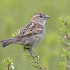 Female House Sparrow at Burghclere