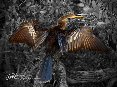 Anhinga Drying Out