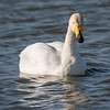 Whooper Swan / Álft (Cygnus cygnus)