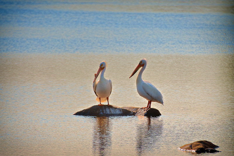 Pelicans near Muriel Lake