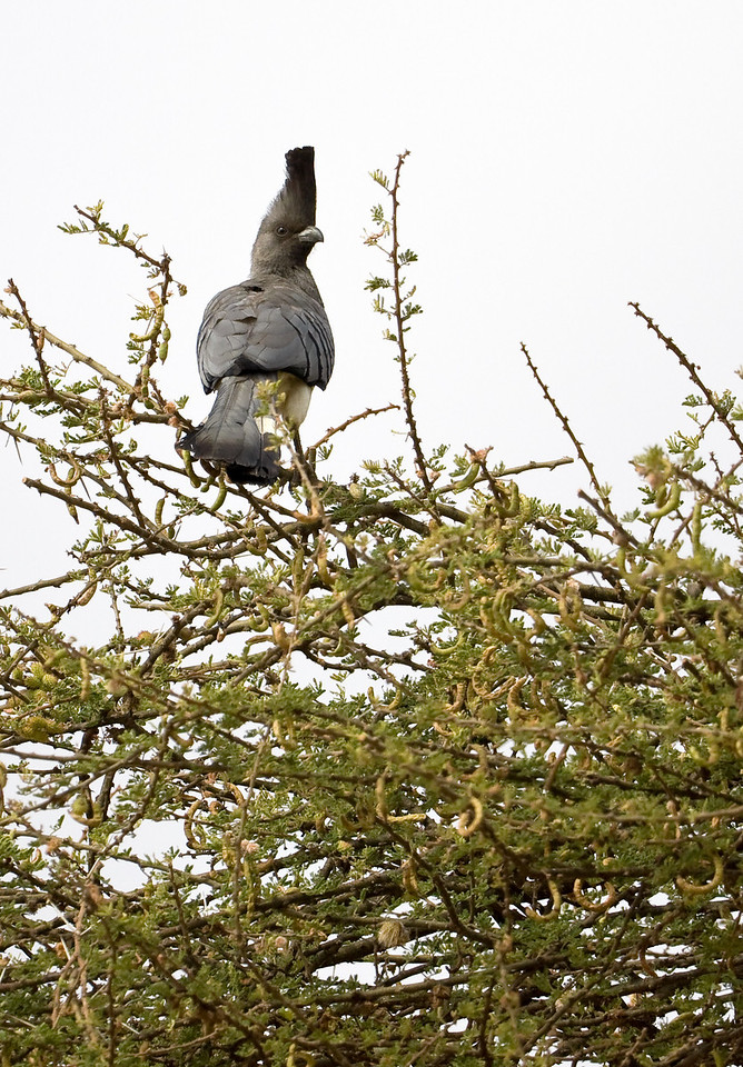 White-bellied Go Away Bird.<br /> <br /> Location: Amboseli National Park, Kenya<br /> <br /> Lens used: Canon 100-400mm f4.5-5.6 IS