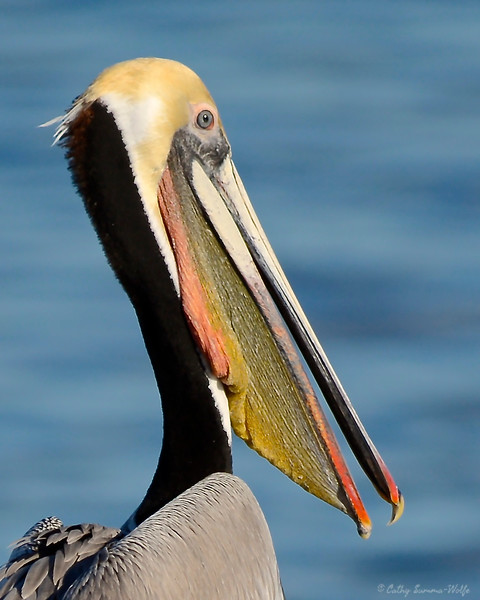 Portrait of Brown Pelican in breeding plumage.