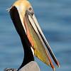 Portrait of Brown Pelican in breeding plumage.