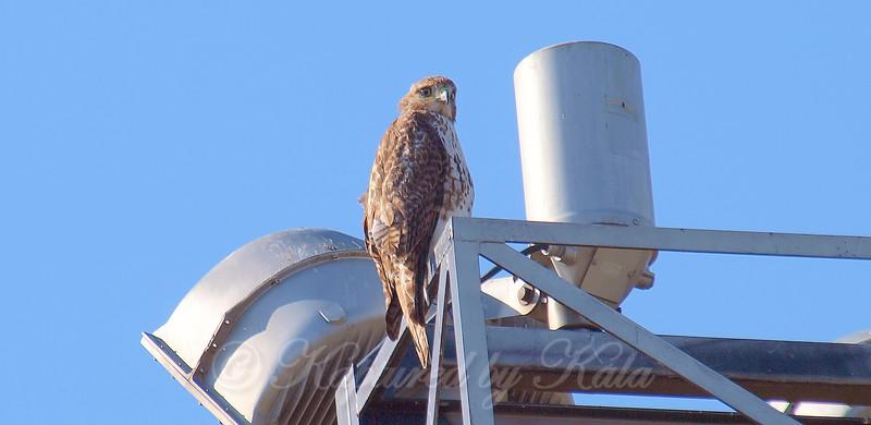 Hawk on the Stadium Lights