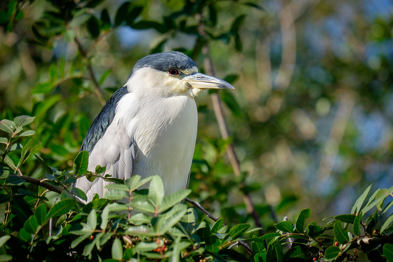 Black Crownded Night Heron