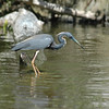 Little blue heron, Central Florida