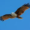 Brahminy Kite, Federation Walk Coastal Reserve,