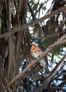 Giant Kingfisher, Selous