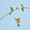 Rainbow Bee-eaters, The Spit, Qld.