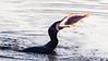 Great cormorant (& European perch) / Phalacrocorax carbo (& Perca fluviatilis) / Aalscholver (& Baars)