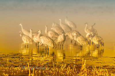 Sandhill Cranes on a pond at sunrise