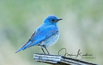Male Western Mountain Bluebird