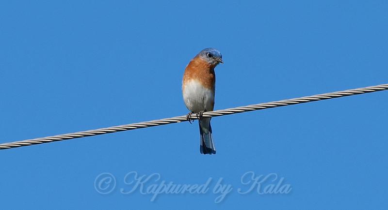 Male Eastern Bluebird View 2