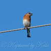 Male Eastern Bluebird View 2