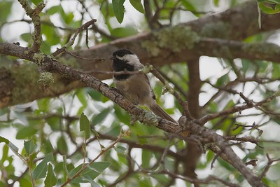 Mexican Chickadee (Poecile sclateri)
