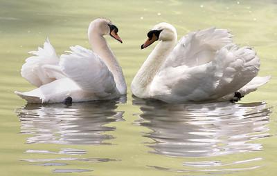 2 swans