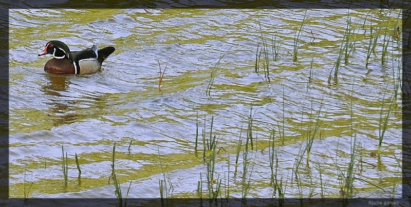 Wood Duck ~ Aix sponsa