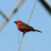 Vermilion Flycatcher With Bug