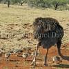 Struthio camelis-Ostrich & chicks