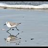 Sanderling Stride