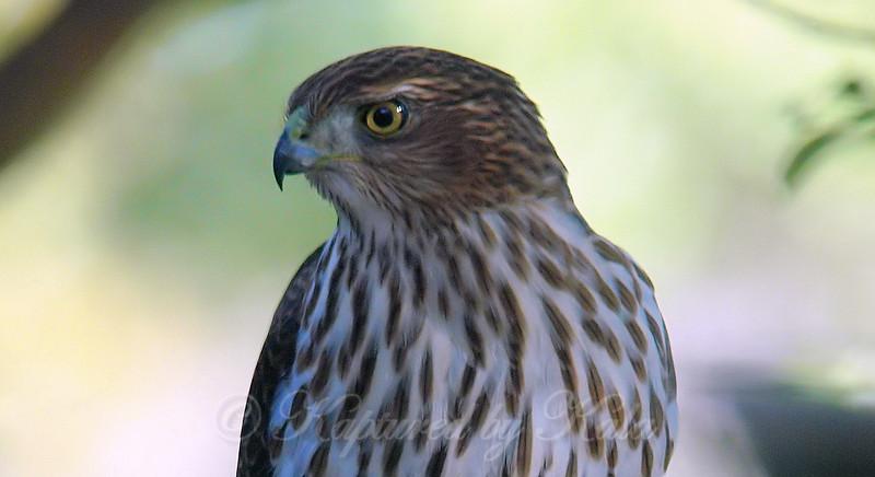 Portrait Of My Yard Hawk