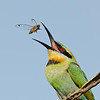 Rainbow Bee-eater Tossing a Cicada, The Federation Walk Nature Reserve, Gold Coast. Qld.