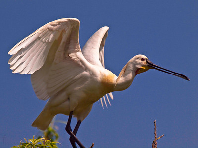 Eurasian spoonbill or common spoonbill (Platalea leucorodia) @Ranganthittu Bird Sanctuary