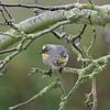 Setophaga coronata | Yellow-rumped warbler | Kronenwaldsänger