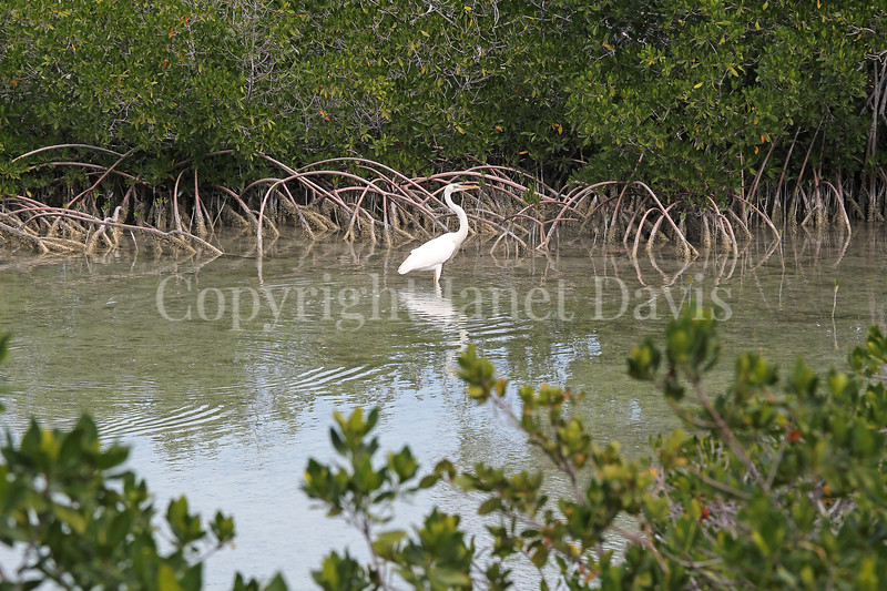Ardea herodias occidentalis – Great white heron 7