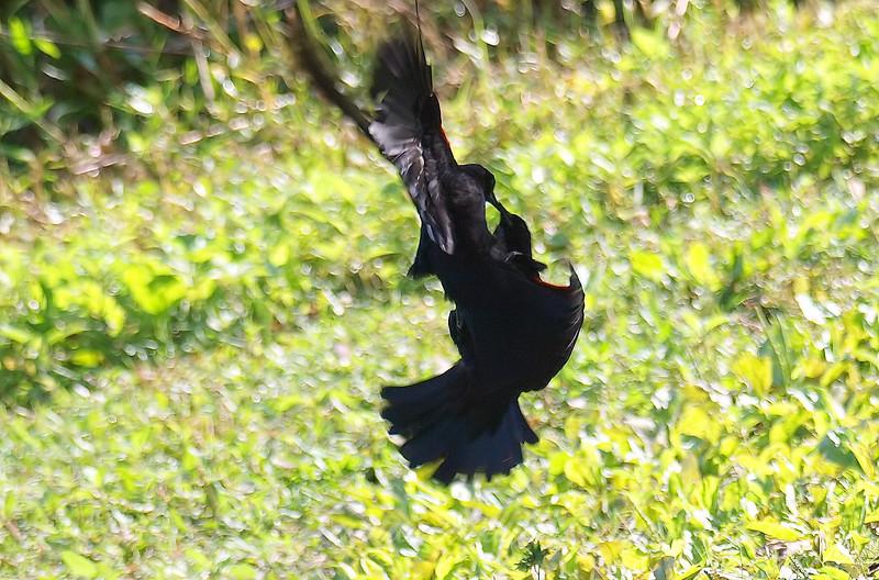Red-winged Blackbird Death Match 1