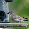 This Female Cowbird Has Been Hanging Out at my Finch Feeder all Summer Long