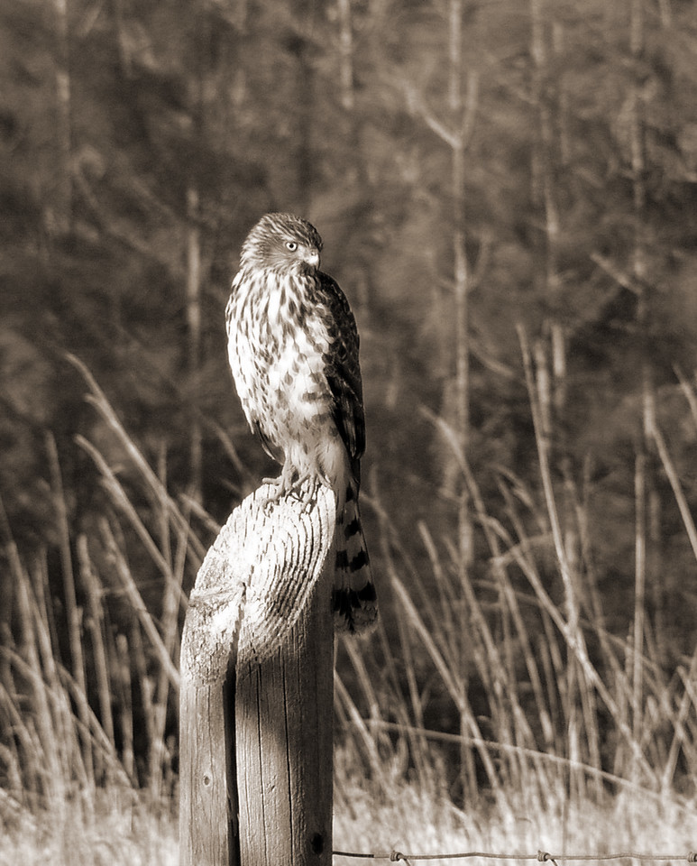 """NAB-111304-10-sepia  """"Hungry Eyes"""" Immature hawk (possibly Cooper's Hawk), Shingle Springs, California.  Black-and-white image."""