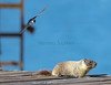 Tree Swallow tells this Marmot where to go!