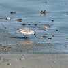 Sanderling Feeding in the Surf