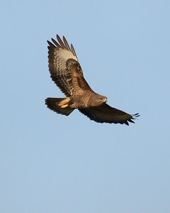 Buzzard over Old Burghclere